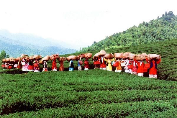 Iran tea farms